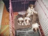 扬州哪有喜乐蒂犬卖 扬州喜乐蒂犬价格 扬州喜乐蒂犬多少钱