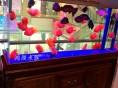无锡宠物鱼活体中大型淡水鱼