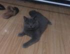 八个月大英短小蓝猫