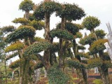 椤木石楠桩景,造型椤木石楠,批发椤木石楠