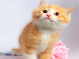 沈阳本地猫舍 英短蓝猫蓝白渐层布偶橘猫加菲猫 上门买包3个月