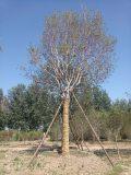 北京通州华源发出售大规格30公分 玉兰树
