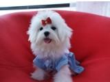 济南哪有马尔济斯犬卖 济南马尔济斯犬价格 马尔济斯犬多少钱