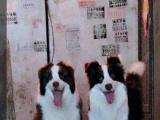 纯家养双血统边境牧羊犬出售