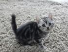家庭繁育,刚满月的虎斑宝宝接受预定