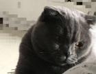 出生两个月的蓝猫,有折耳有立耳共4只