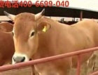 宁波适合养什么品种牛