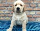 上海哪里有宠物狗出售 养殖场出售纯种拉布拉多 可送货上门