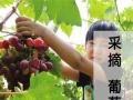 莱阳高老庄8月-11月采摘季,葡萄礼盒热卖中