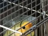 玩赏鸟价格面议鹦鹉