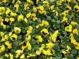 三色堇批发商_[万通花卉]三色堇品种优异