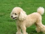 佛山那里可以买到纯种贵宾犬 佛山海珠哪里有狗场