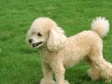 佛山铃铛狗场出售多种宠物狗 纯种贵宾犬价格