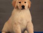 昆明 纯种金毛幼犬 疫苗完全出售中 可签协议安康保证