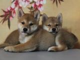 佛山出售 纯种柴犬 完美品相 质优价廉 签协议包健康