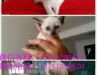 纯种健康的泰国暹罗猫 霸气十足宝蓝石眼睛纯种宠物 泰国宠物猫
