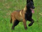 马犬精品幼犬自家繁殖 纯种健康