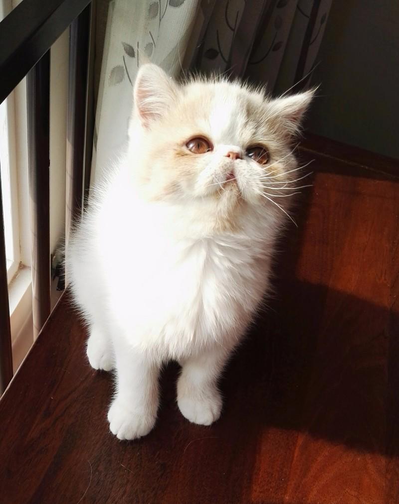家养加菲健康呆萌小猫低价出售