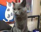 绅士蓝猫活泼可爱