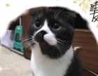 可爱英短折耳猫咪