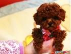 纯种茶杯泰迪犬丨血统纯正健康包活丨可送货签合同