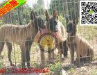 马犬怎么训练 马犬能打猎吗 训练过的马犬哪里有出售