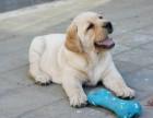 纯种拉布拉多幼犬冠军级后代保健康签协议带证书