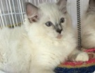 精品蓝猫 布偶猫 出售