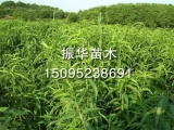 金秀黄桃桃苗——潍坊品种好的桃苗供应