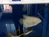 观赏鱼 600元