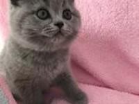 出售纯种英国短毛猫价英短蓝猫 活体宠物猫猫 支持全国发货