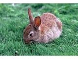菏泽杂交野兔一只杂交野兔种兔多少钱