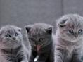家养繁育纯种英国短毛猫,萌萌的蓝猫宝宝 可上门挑选