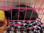 学生党转让一只暹罗猫混血
