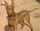 北京常年出售高品宠物犬幼犬,保健康签协议,品种齐全