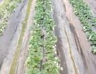 位村奶油草莓采摘园