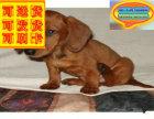 哪里有腊肠犬出售 腊肠犬多少钱一只 在哪里