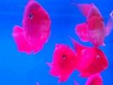 出售11条 鹦鹉鱼
