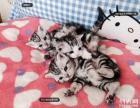美国短毛猫银虎斑美国短毛猫银虎斑