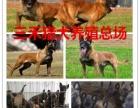 纯种马犬3-5个月左右的市场价格