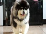 巨型阿拉斯加钱 大型阿拉斯加一只钱 里有卖熊版阿拉