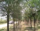 天津40公分法桐树长年出售包成活