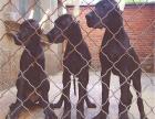 哪里出售纯种高品质 大丹犬 健康可来基地挑选