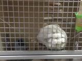 粉白女龙猫,买猫赠笼子