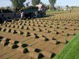 房山長陽韓村河草坪種植中心供應園林綠化草坪高羊茅早熟禾混播