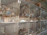 獭兔怎么卖新西兰兔 比利时兔价格便宜