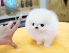 哈多利球体博美幼犬多少钱.专业繁殖基地 品质有保障