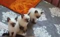 自家繁养纯种暹罗猫400400元