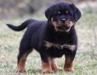 纯种罗威纳犬幼崽多少钱一只