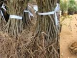 二年东北野生软枣子苗,二年软枣猕猴桃嫁接根嫁接砧木